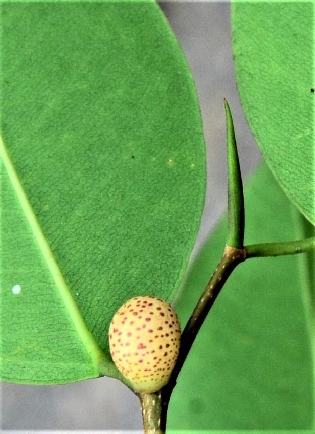 03 Ficus benjamina Pekan, Ranau Bangunan Gerai ●20190343★Shuai LIAO.JPG