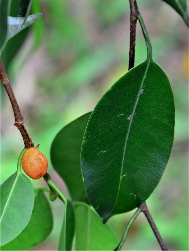 03 Ficus benjamina Ranau, Chon Chu Kung Temple●20190403★ Shuai LIAO-LSL_0902