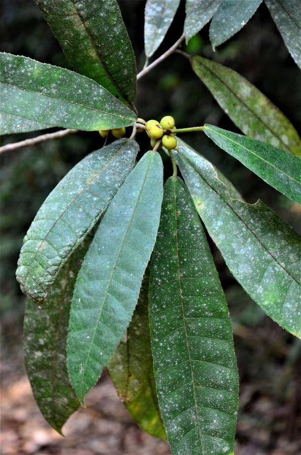 03 Ficus inaequipetiolata Tongod, Tangkulap FR 02 ●20190417★Shuai LIAO-LSL_1438.JPG