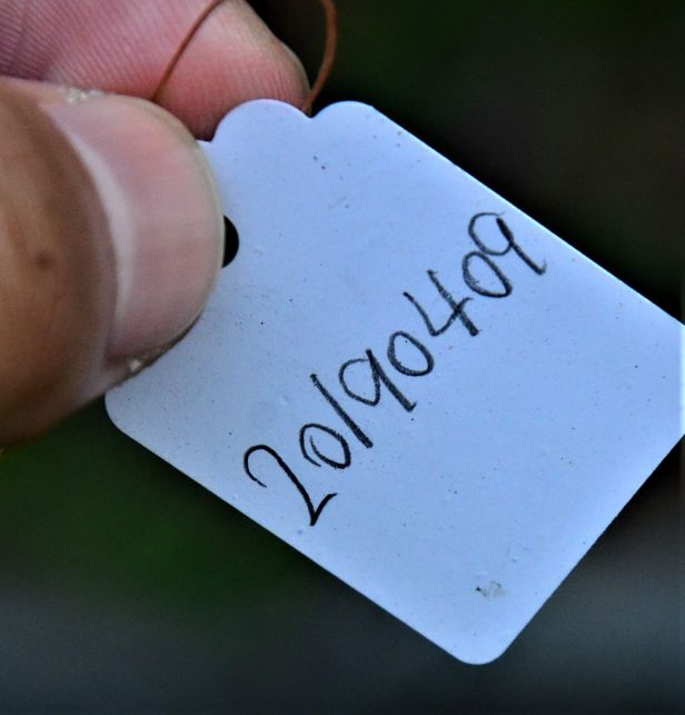 03 Ficus subgelderi Telupid, Mantapok Nature T  150m●20190409★ Shuai LIAO-LSL_1086.JPG