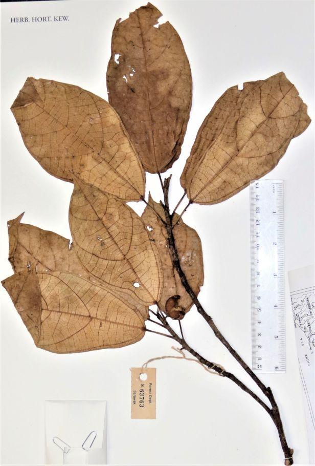 04 Ficus androchaete Batang Balui Sarawak IMG_0064