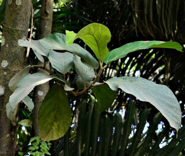 04 Ficus fistulosa hybrid Tongod, Beside Jln Imbak - Luasong●20190423★ Shuai LIAO-LSL_1631.JPG