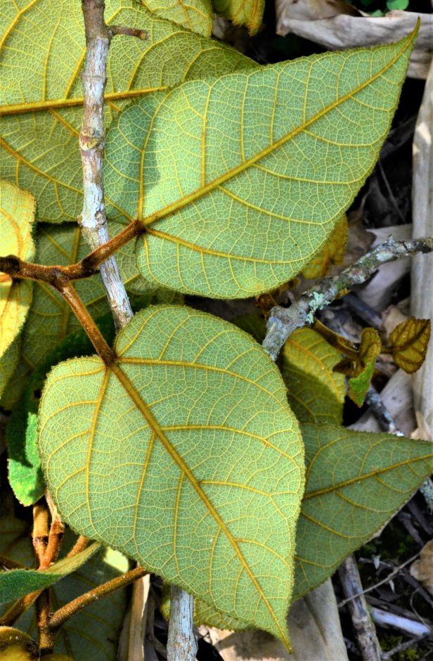 05 Ficus eumorpha Entrance  Mesilau Nature Resort●20190367★ Shuai LIAO-LSL_9271.JPG