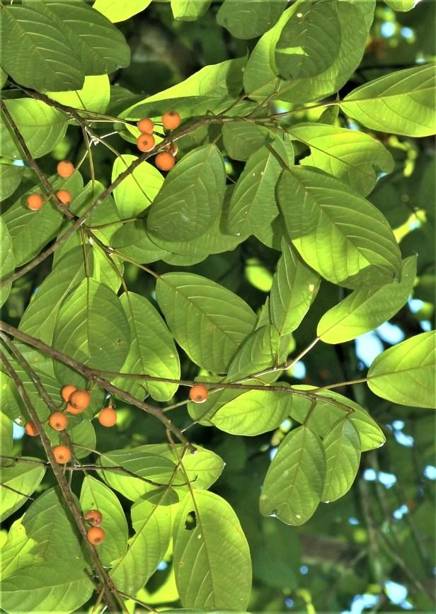 05 Ficus lumutana female DVFC Mike Bernadus ●20200034★Xin-Xin ZHOU_DSC_3325.JPG