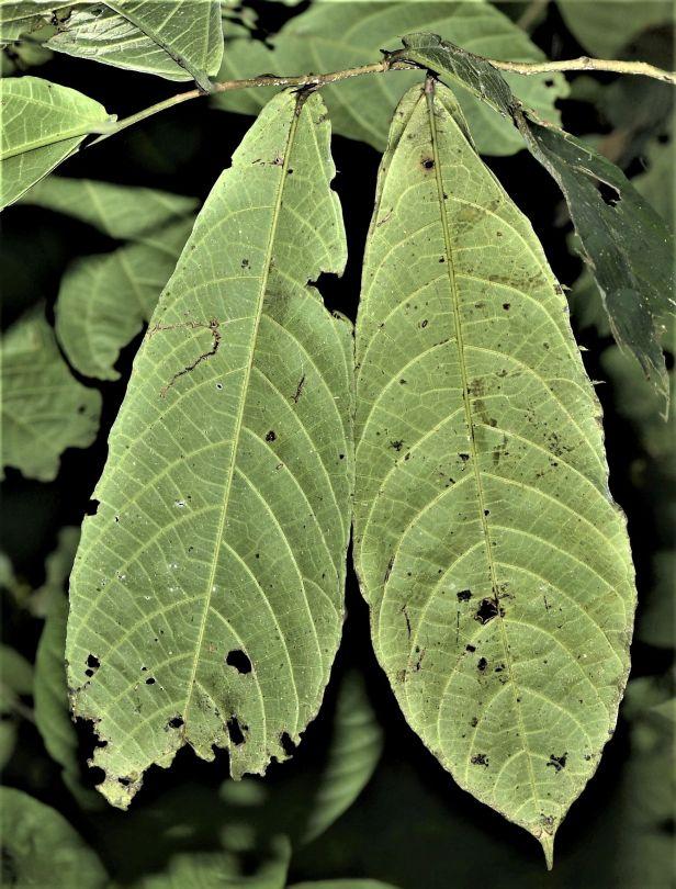 06 Ficus midotis Tawau Hills Park 20 Jan 2020 ★Xin-Xin ZHOU_DSC_3947.JPG