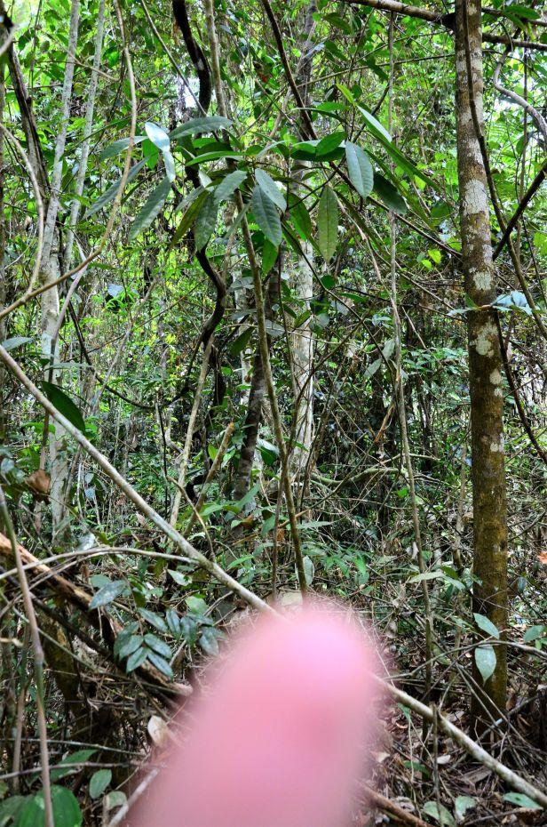 07 Ficus inaequipetiolata Tongod, Tangkulap FR 02 ●20190417★Shuai LIAO-LSL_1438.JPG