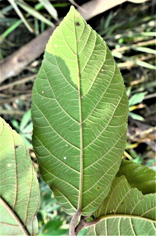 08 Ficus fistulosa hybrid Tongod, Beside Jln Imbak - Luasong●20190423★ Shuai LIAO-LSL_1631