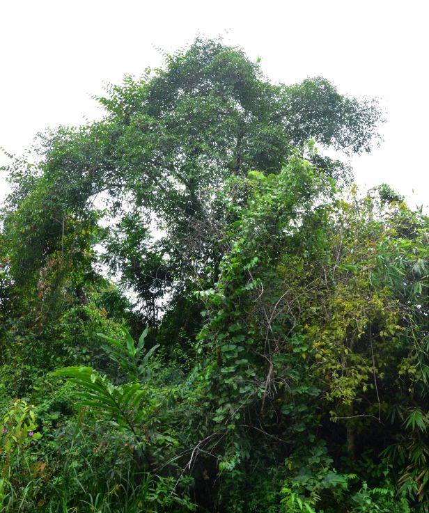 09 Ficus virens  Kinabatangan, Segaliud Lokan●20190465★Shuai LIAO-LSL_3111.JPG