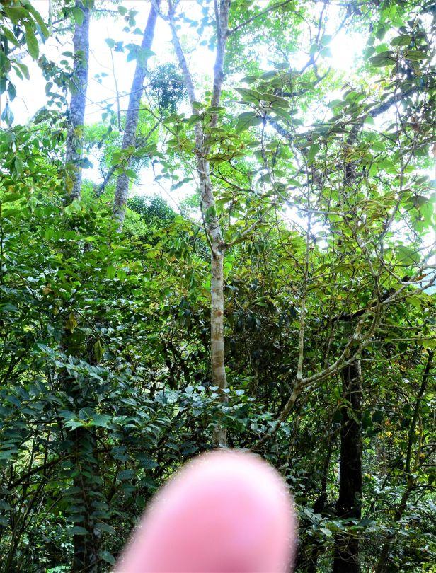 11 Ficus eumorpha Entrance  Mesilau Nature Resort●20190367★ Shuai LIAO-LSL_9271.JPG