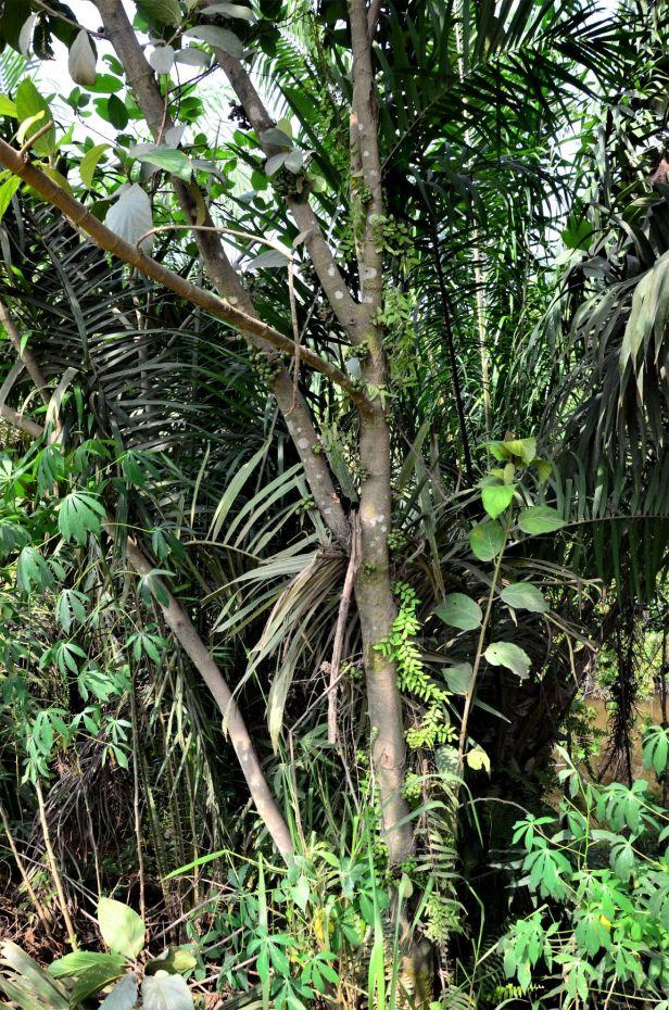 11 Ficus fistulosa hybrid Tongod, Beside Jln Imbak - Luasong●20190423★ Shuai LIAO-LSL_1631.JPG