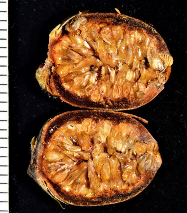 11 Ficus subgelderi Telupid, Mantapok Nature T  150m●20190409★ Shuai LIAO-LSL_1086.JPG