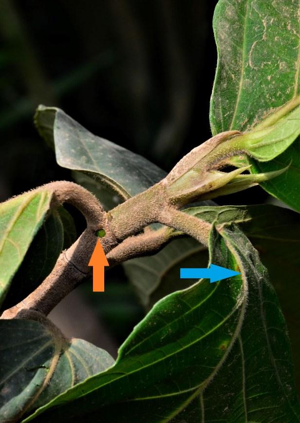 13 Ficus fistulosa hybrid Tongod, Beside Jln Imbak - Luasong●20190423★ Shuai LIAO-LSL_1631.JPG