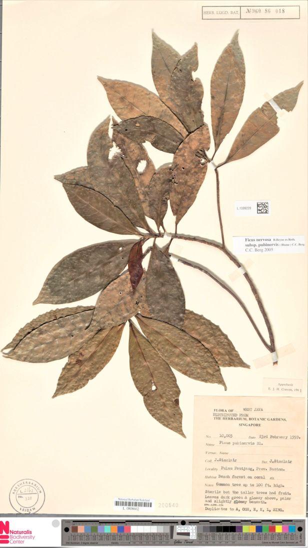 Ficus nervosa Peutcang island West Java 01  001354967-L.1599229 .jpg