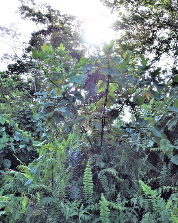 02 Ficus fulva EG835.JPG