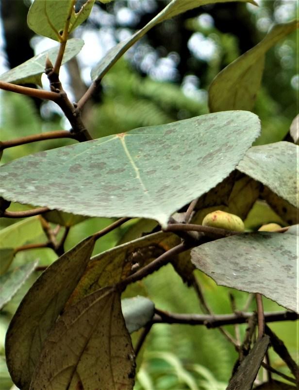 02 Ficus grossularioides EG814 a.JPG