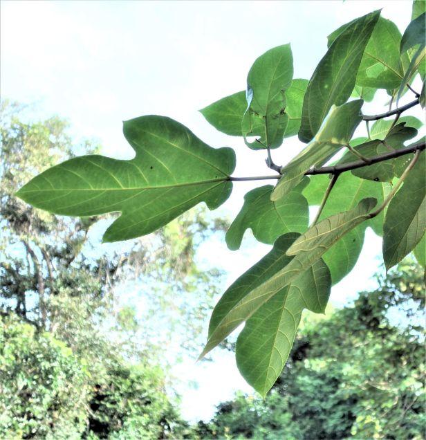 03 Ficus fulva EG835.JPG