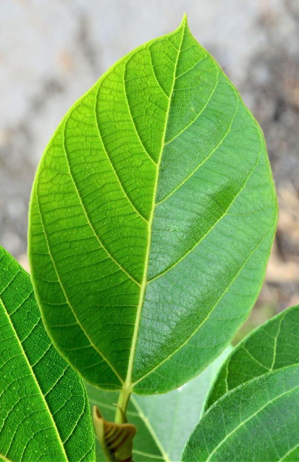 03 Ficus fulva, Kg. Gondohon Ranau ●20190372★Shuai LIAO-LSL_9459
