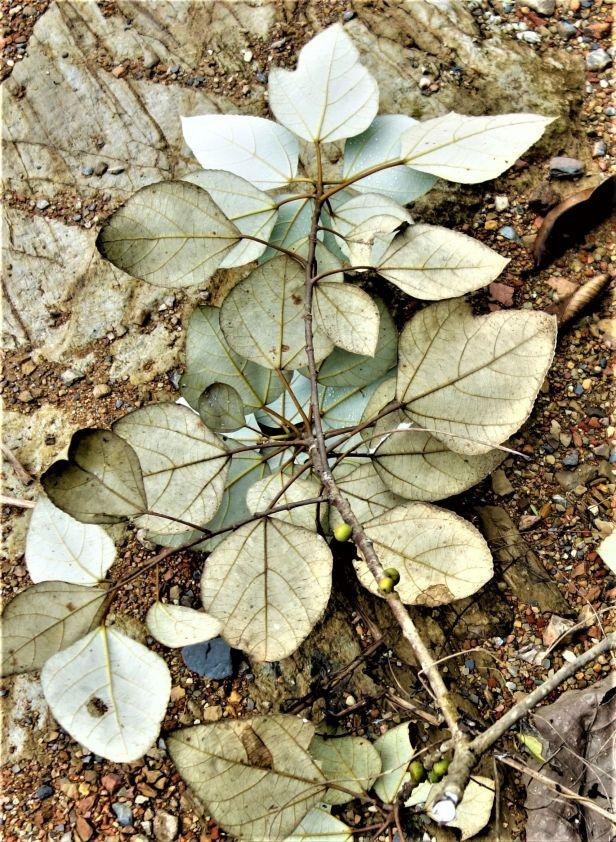 03 Ficus grossularioides EG814 a
