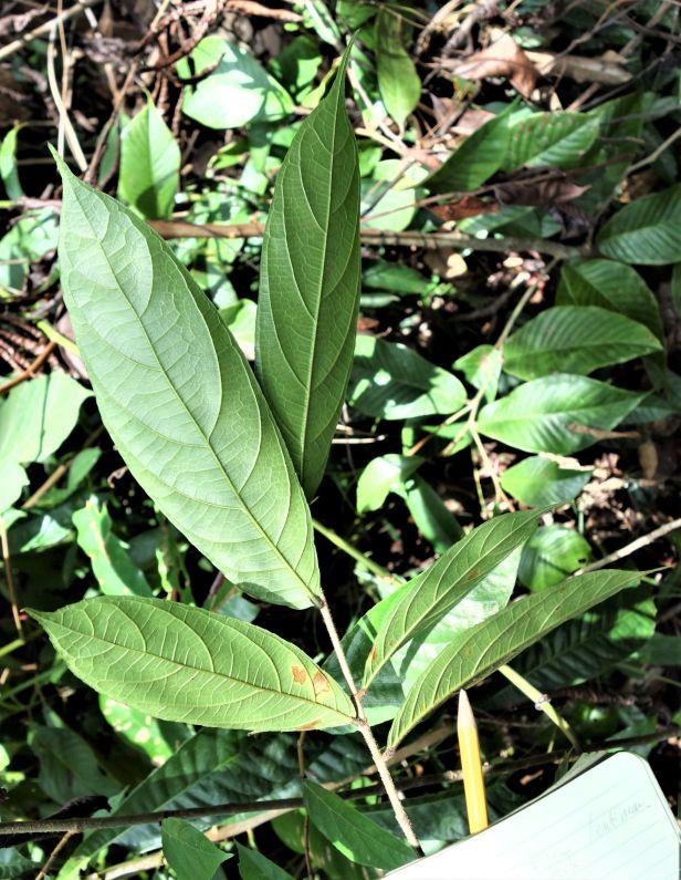 03 Ficus stolonifera Rumah Mamut, Kapit Feb 2020  EG823.JPG