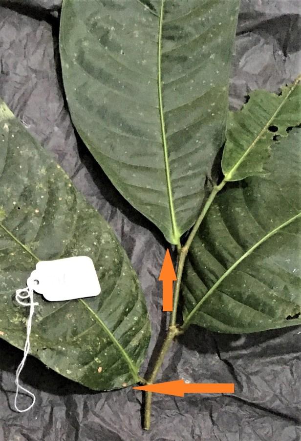 03 Ficus subulata EG 875