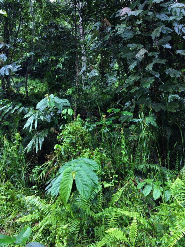 04 Ficus bukitrayaensis 02 14  February 2020 Sg Sebatu Kapit EG881.JPG