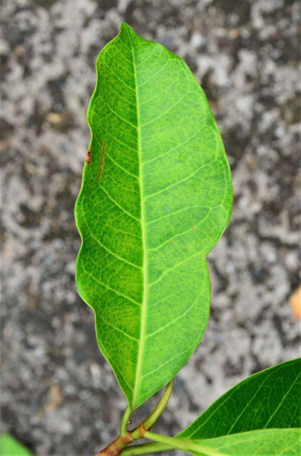 04 Ficus kerkhovenii Sepilok Nature Resort,●20190435★Shuai LIAO-LSL_2095.JPG