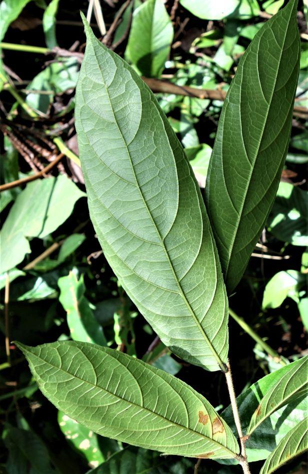 04 Ficus stolonifera Rumah Mamut, Kapit Feb 2020  EG823.JPG