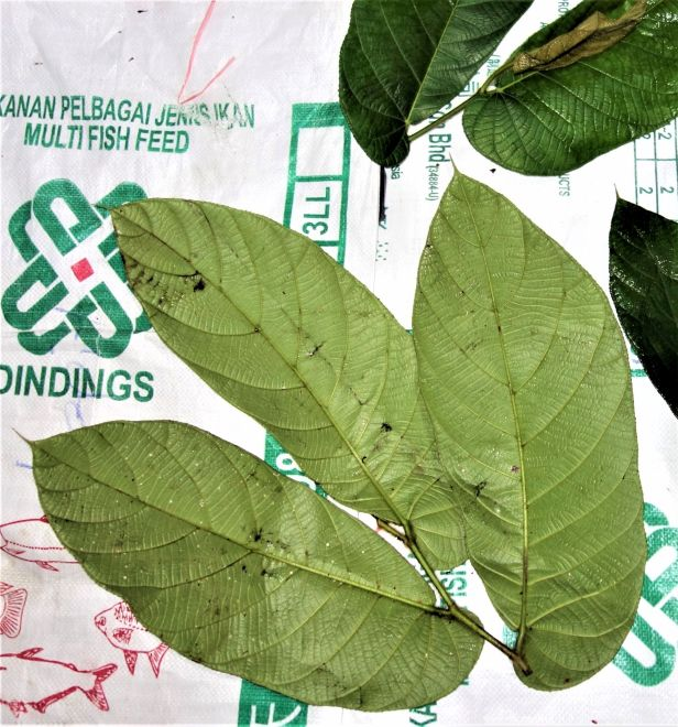 05 Ficus bukitrayaensis 02 14  February 2020 Sg Sebatu Kapit EG881.JPG