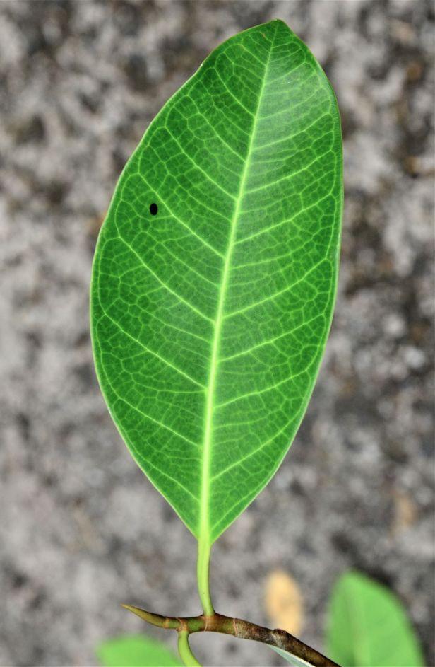 05 Ficus kerkhovenii Sepilok Nature Resort,●20190435★Shuai LIAO-LSL_2095.JPG