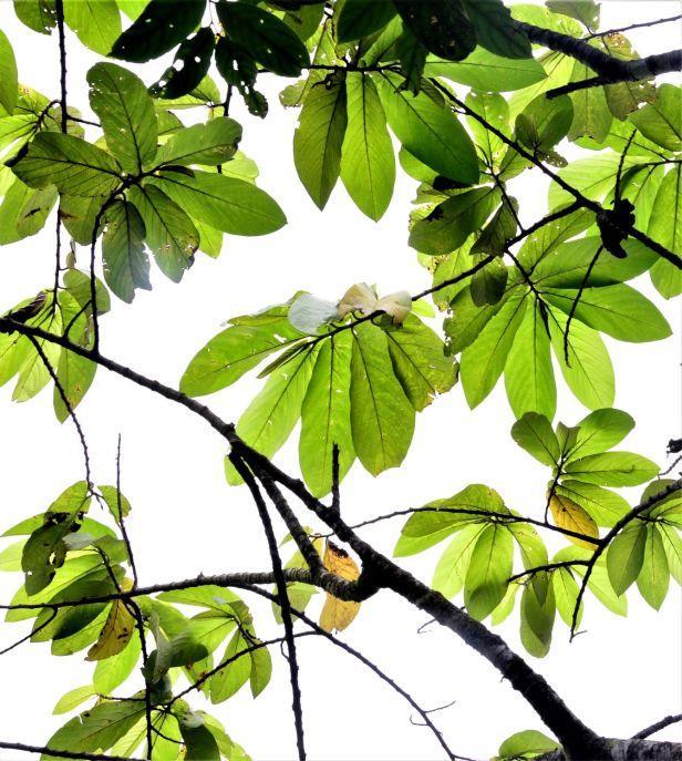 07 Ficus megaleia  Crocker Range Park Ulu Kimanis●20190379★ Shuai LIAO-LSL_9673.JPG