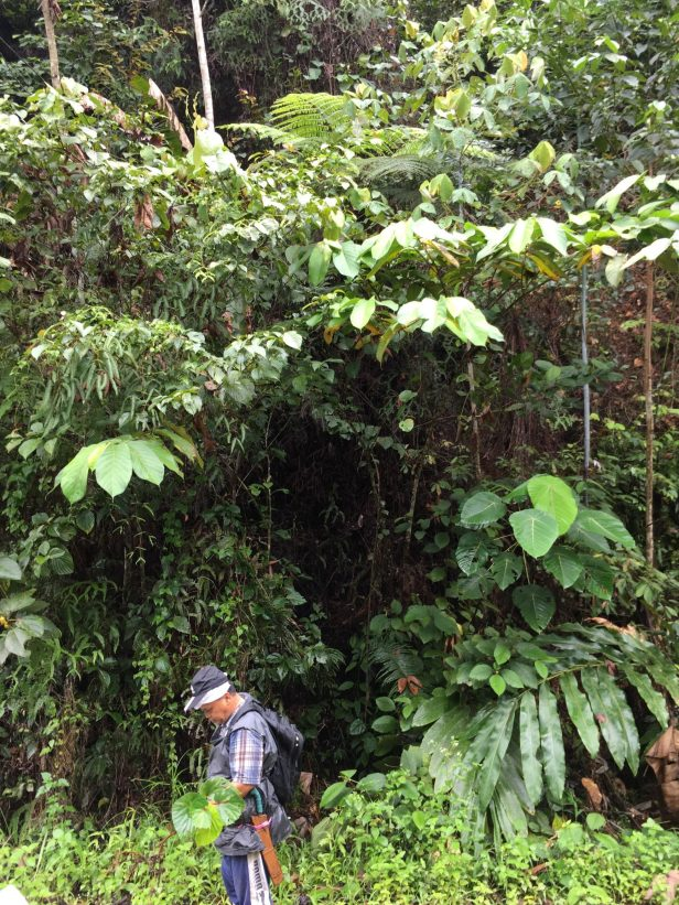 08 Ficus bukitrayaensis  Sg Sebatu Kapit 14 Feb 2020 EG884 .JPG
