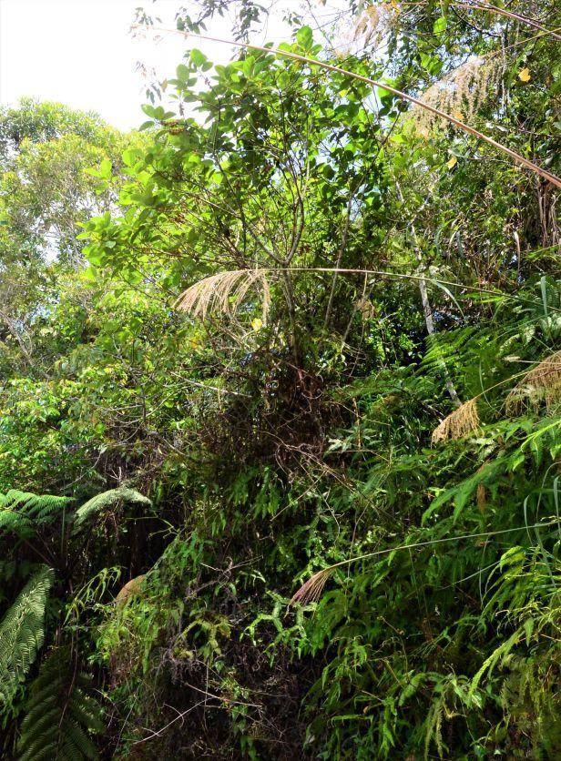 09 Ficus fulva, Kg. Gondohon Ranau ●20190372★Shuai LIAO-LSL_9459