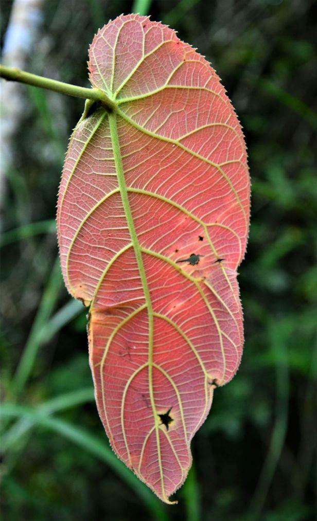 09 Ficus megaleia  Crocker Range Park Ulu Kimanis●20190379★ Shuai LIAO-LSL_9673.JPG
