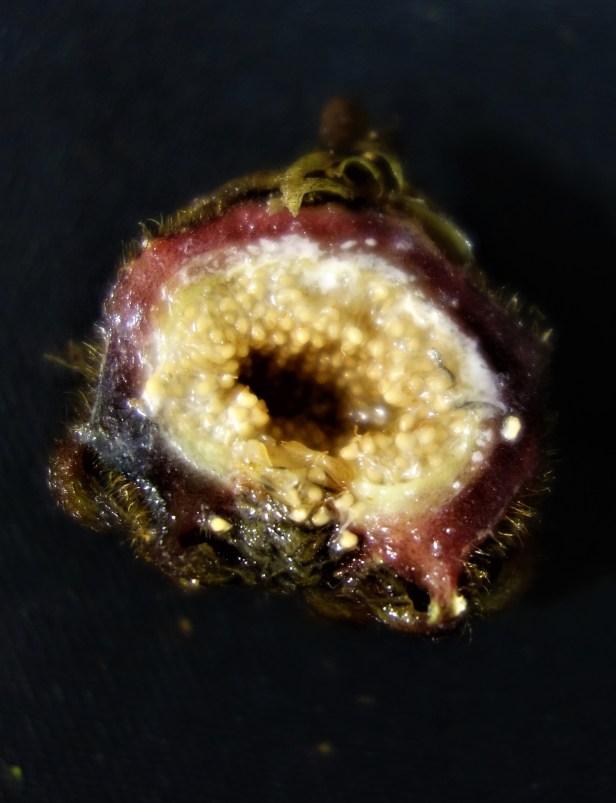 Ficus cf beccarii EG902 same as 899 specimen d.JPG