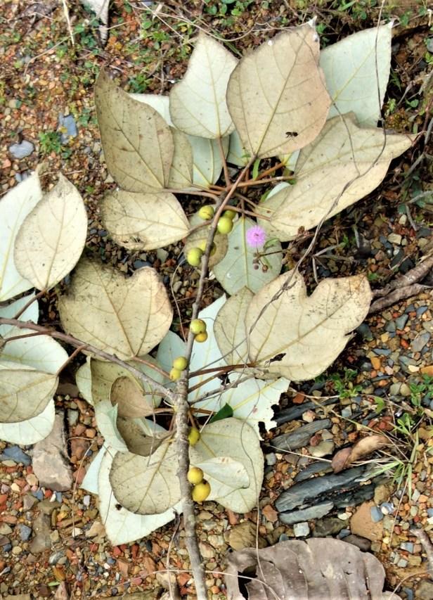 Ficus cf grossularioides EG814 c-02 .JPG