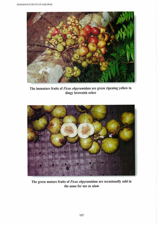 ITTO (2003) Part 02 Indigenous Fruits of Sarawak 23 MB_Page_74_Image_0001.jpg