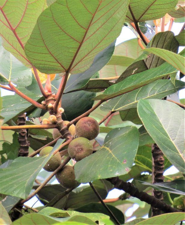 04 Ficus padana Tapanuli Sumatra Eka Siswyati IMG_4838