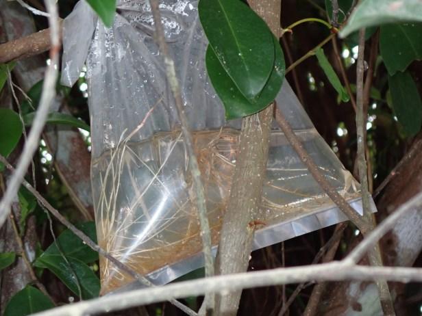 Ficus Callophylla Jejangkit metode cangkok air 1