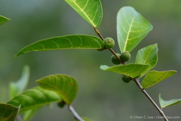 Ficus opposita cld1914464