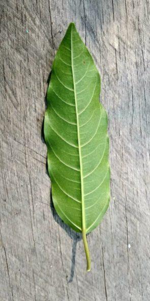 Ficus racemosa Katingan Mentaya Labay Dapi (3)