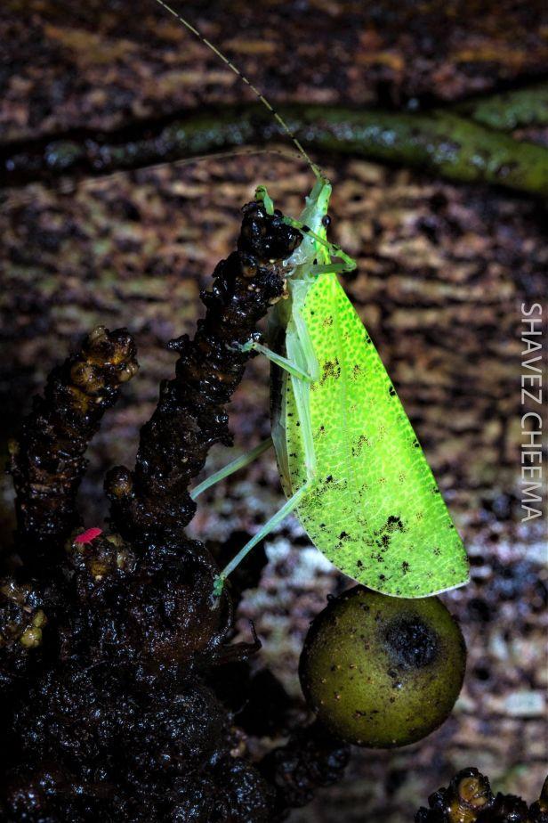 03 Leaf hopper eating unripe Ficus rosulata Shavez Cheema IMG_3600
