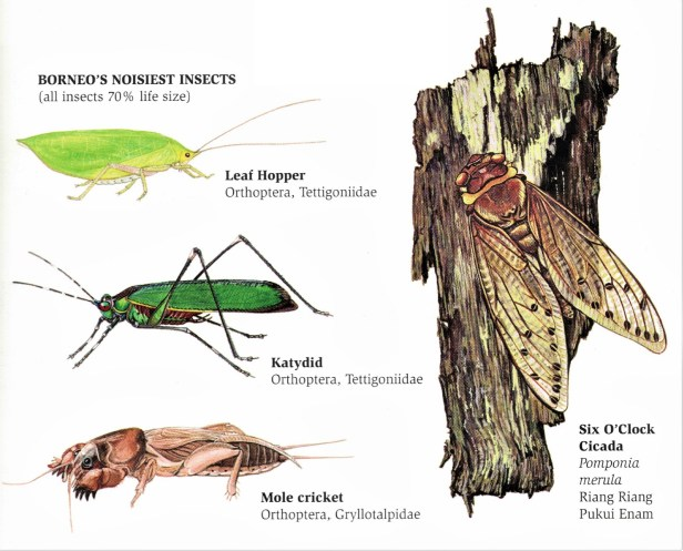 Borneo's nosiest insects .jpg