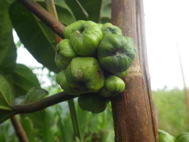 Ficus fistulosa Sg Kapuas Labay Dapi 16 July 2020 (10)
