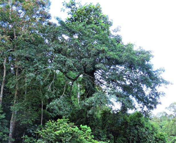 01 Ficus cucurbitina Deramakot Wong July 2020 (2).JPG