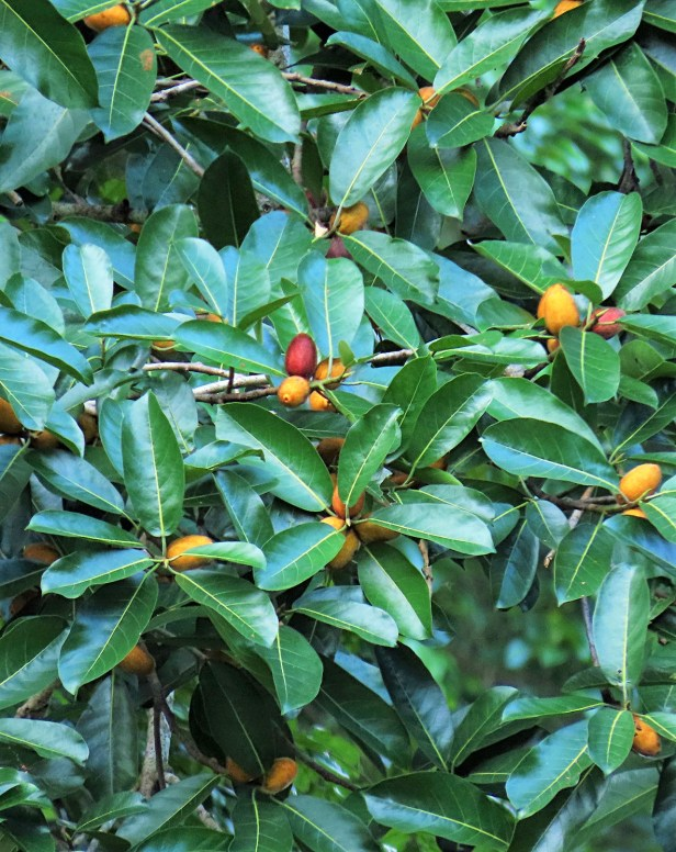 02 Ficus cucurbitina Deramakot Wong July 2020 (3).JPG
