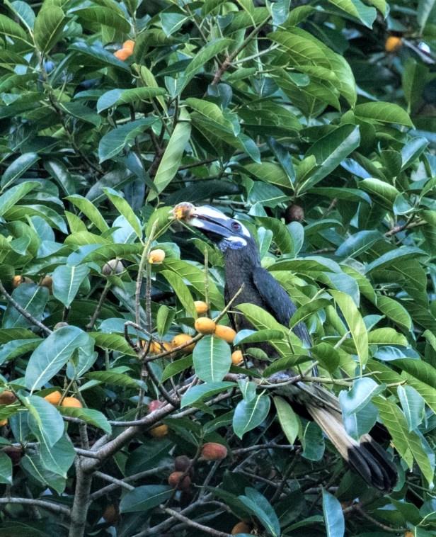 04 Ficus cucurbitina Deramakot 7 July 2020 Shavez Cheema (15)