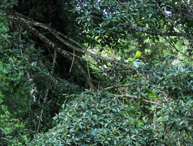 Ficus cucurbitina Deramakot Wong July 2020 (4).JPG