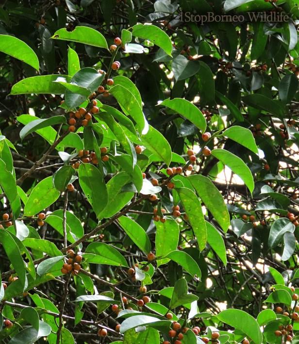 Ficus sundaica Inikea July 2020 Wong CX (14)
