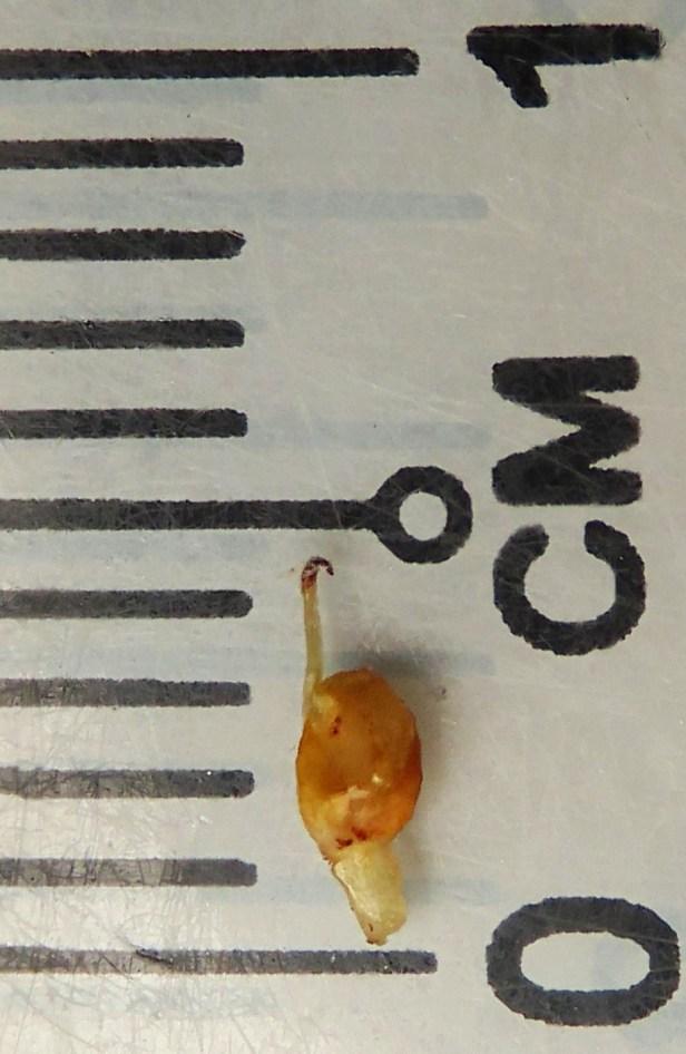 Ficus sundaica Inikea July 2020 Wong CX (8).JPG