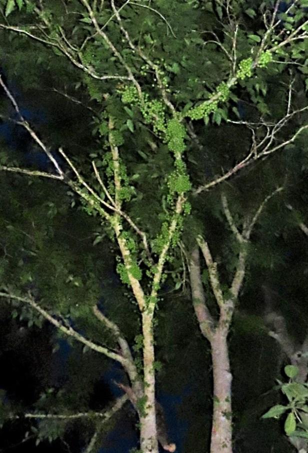 Ficus variegata green morph Gng Andrassy (13).JPG